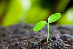 Broto verde que cresce da semente no solo orgânico Imagens de Stock