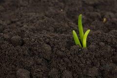 Broto verde que cresce para fora do fundo da textura do solo do solo Fotos de Stock Royalty Free