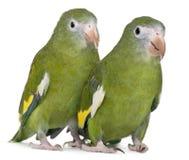 brotogeris长尾小鹦鹉飞过的versicolurus白色 免版税库存图片