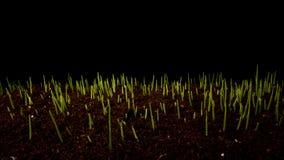 Brotos da germinação do trigo filme