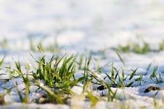 Brotos da grama verde através da neve Dia de inverno ensolarado Sunny Da imagens de stock