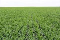 Brotos da grama verde do trigo em um campo, prado, Rússia, outono Fotos de Stock Royalty Free
