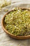 Brotos de alfafa orgânicos verdes crus do trevo Fotografia de Stock