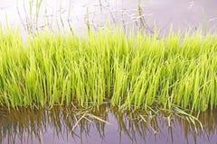 Brotos do arroz Imagens de Stock Royalty Free