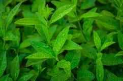 Brotos do chá verde Imagens de Stock