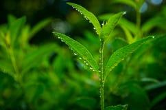 Brotos do chá verde Fotos de Stock