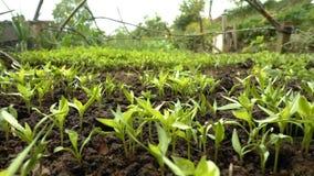 Brotos do milho no solo e a saudação e a vila video estoque