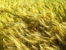 Brotos e hastes verdes e dourados do trigo da grão fotos de stock royalty free