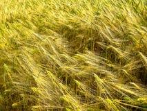 Brotos e hastes verdes e dourados do trigo da grão foto de stock