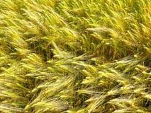 Brotos e hastes verdes e dourados do trigo da grão foto de stock royalty free