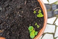 Brotos novos da batata que crescem fora de um jardim do plantador do recipiente, em um p?tio Folhas das flores da batata que saem imagem de stock royalty free