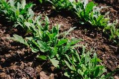 Brotos novos da manjericão e da rúcula no jardim, especiarias crescentes Jardinagem orgânica das hortaliças foto de stock