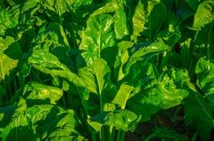 Brotos novos verdes da beterraba Fotografia de Stock