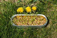 Brotos orgânicos caseiros/germes da lentilha em uma lata fotografia de stock royalty free