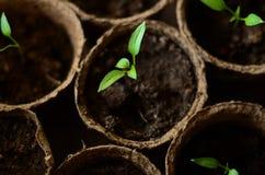 Brotos pequenos da pimenta búlgara em uns potenciômetros redondos da turfa imagens de stock