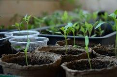 Brotos pequenos da pimenta búlgara em uns potenciômetros redondos da turfa Fotografia de Stock