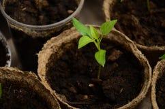 Brotos pequenos da pimenta búlgara em uns potenciômetros redondos da turfa fotos de stock royalty free