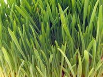 Brotos verdes novos da aveia Imagem de Stock Royalty Free