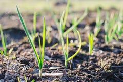 Brotos verdes novos do alho que crescem do solo no dia ensolarado da mola Natureza que desperta o conceito fotos de stock