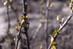 Brotos verdes novos frescos do close up em ramos do corinto preto na mola Foco seletivo O fundo é borrado imagem de stock