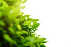 Brouillé des feuilles vertes, fond naturel image stock