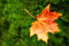 brouillé Le jaune rougeâtre de feuille d'érable se trouve sur la mousse verte du tronc d'arbre Des photos ont été prises sur la l images stock