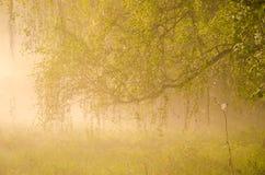 brouillard épais de matin dans la forêt d'été Photos libres de droits