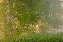 brouillard épais de matin dans la forêt d'été Photo libre de droits