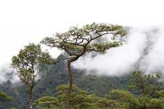 Brouillard dans la forêt de pin photographie stock
