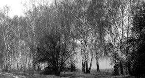 Brouillard dans un verger de bouleau Images stock