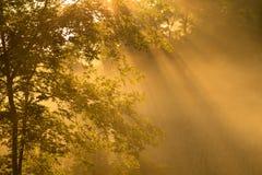 Brouillard de matin avec l'arbre d'érable Photos stock