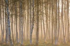 Brouillard de matin dans les bois de bouleau Photos stock