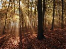 Brouillard et le sun& x27 de matin ; rayons de s dans les bois Photographie stock libre de droits