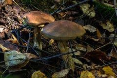 Broun birch bolete. Summer forest. Stock Images