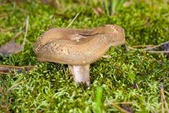 Broun mushroom Paxillus involutus Stock Photo