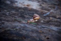 Broun Snail on wood 2. Broun Snail on brown wood of tree 2 royalty free stock photo
