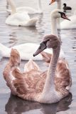 Broun young swan on the lake. Among the white swans, close up vertical portrait royalty free stock photos