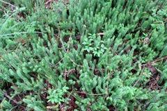 Broussaille de cupressiforme de Hypnum dans la forêt Images libres de droits