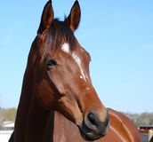 Brouwn horse Royalty Free Stock Image