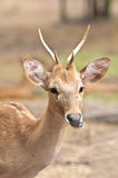 A Brow-Antlered Deer ( Cervus eldii) Portrait Royalty Free Stock Photo