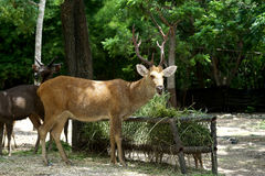 Brow antlered deer Stock Photo