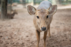 Brow-antlered deer face. Brow-antlered deer in the zoo Stock Images