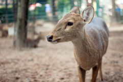 Brow-antlered deer face. Brow-antlered deer in the zoo Royalty Free Stock Photo