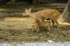 Brow antlered deer Stock Images