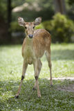 Brow-antlered deer Royalty Free Stock Images