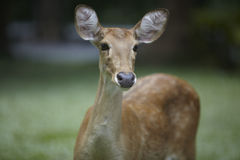 Brow-antlered deer Royalty Free Stock Photo