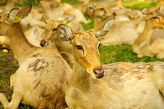 Brow-antlered deer Stock Photos