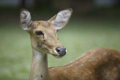 Brow-antlered deer head Stock Photo