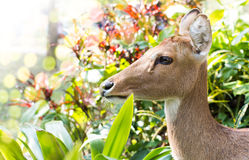 Brow-antlered deer Stock Photo