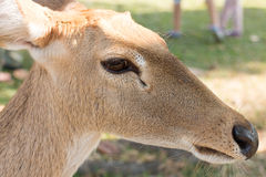 Brow-antlered deer Stock Image